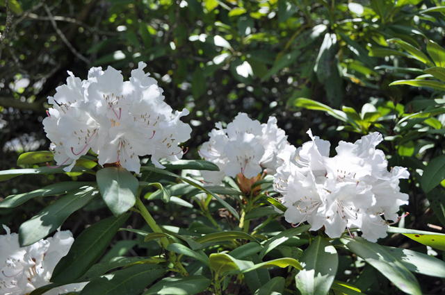 rhododendron476