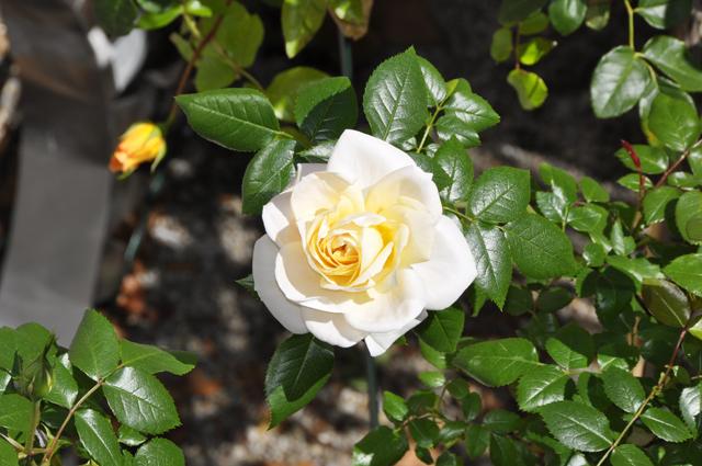 rosen389