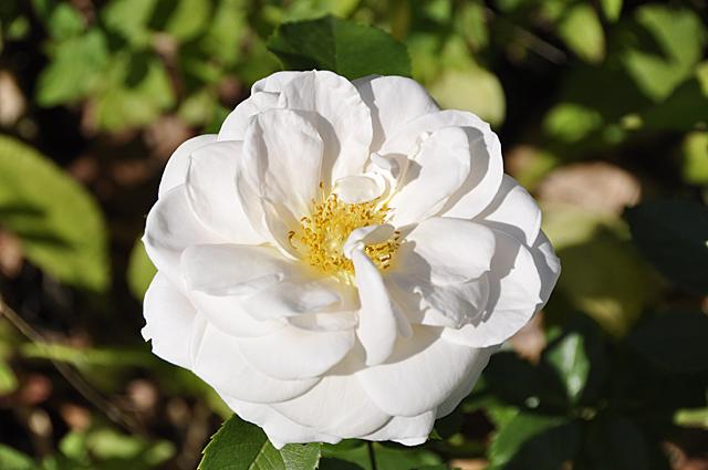 rose-weiss12